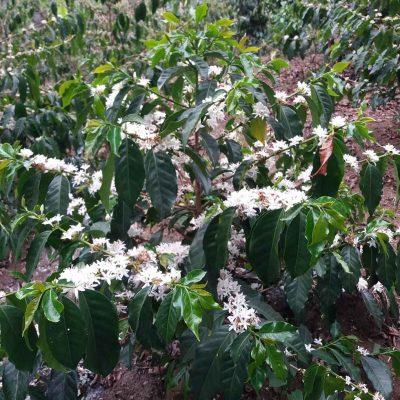 el pilar guatemala farm